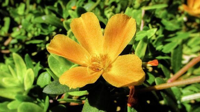 Sommerportulak hat gelbe Blüten.