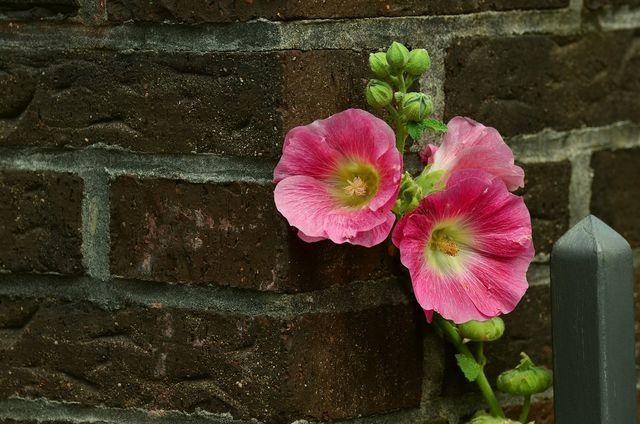 Wenn du Stockrosen pflanzen willst, solltest du am besten einen Pflanzort in der Nähe einer Mauer suchen.