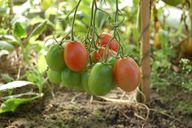 Die Nachreife an der Mutterpflanze schützt vor Aromaverlust.