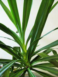 Typischer Blattwuchs der Yucca