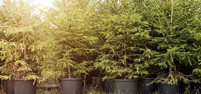 Leasing Weihnachtsbaum.Gute Idee Weihnachtsbäume Mieten Statt Kaufen Utopia De
