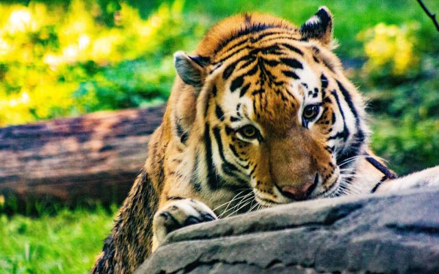 Animal tourism taking selfies with tigers is a no-go