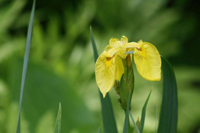 Egal ob im Teich oder im Haus: Wasserlilien brauchen viel Wasser, Staunässe vertragen sie aber nicht gut.