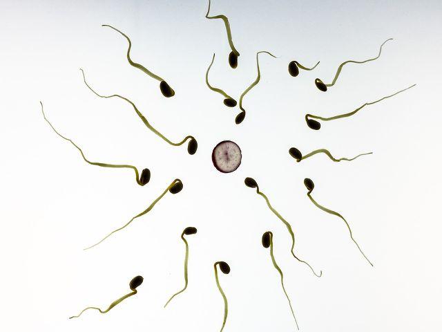 Wird die Eizelle befruchtet, reifen keine neuen heran