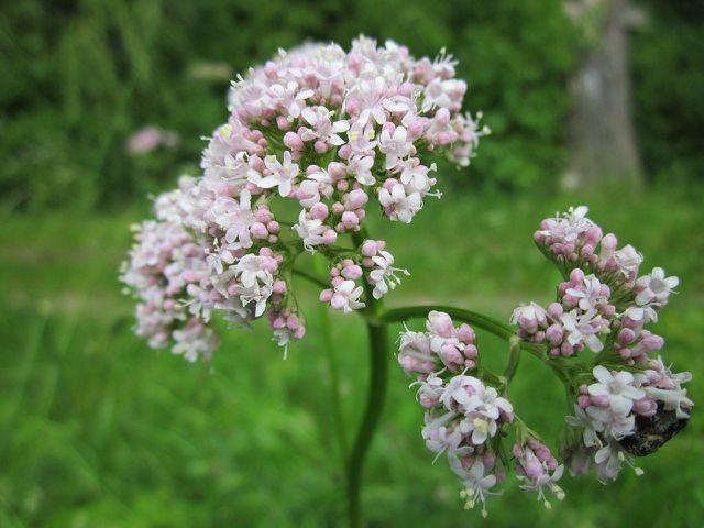 Baldrian (Valeriana Officinalis) hat eine beruhigende Wirkung.