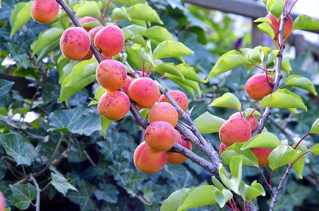 Um den Aprikosenbaum zu stärken, kannst du ihn regelmäßig mit Brennnesseljauche düngen.