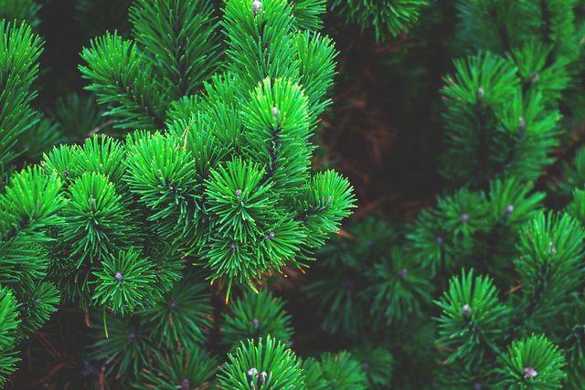 Kiefern zählen unter den Nadelbäumen zu den widerstandsfähigsten Baumarten.