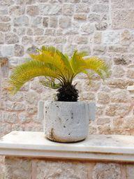 Bei direkter Sonneneinstrahlung können Palmen gelbe Blätter entwickeln.