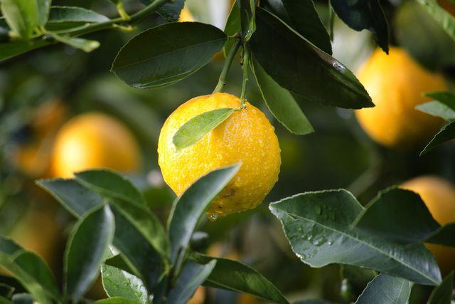 Egal, wofür du Zitronen anwendest: Kaufe sie immer in Bio-Qualität.