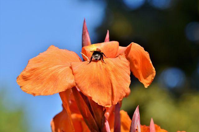 Indisches Blumenrohr bietet Nahrung für Bienen.