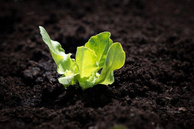Du kannst Zuckerhut-Salat aussäen oder vorgezogene Pflanzen kaufen.