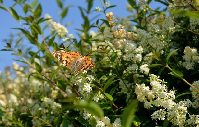 Wenn du deinen Liguster schneiden willst, solltest du darauf achten, noch genug Blüten tragende Triebe für Bienen, Hummeln und Schmetterlinge stehen zu lassen.