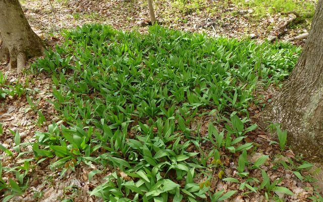 wild garlic patch