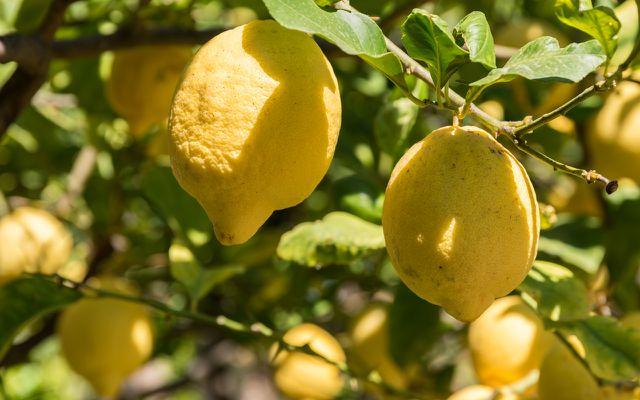 Die Schale der Zitronatzitrone wird gerne in der süditalienischen Küche verwendet.