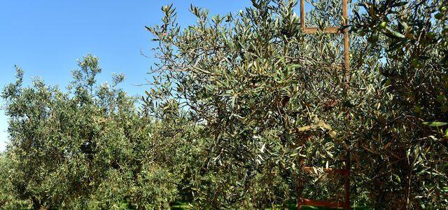 Olivenbaum Schneiden Zeitpunkt Und Schritt Fur Schritt