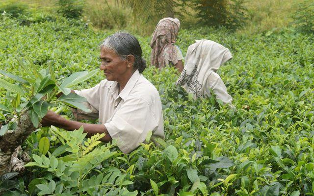 Auf Teeplantagen kommt es häufig zur Ausbeutung von Mensch und Natur