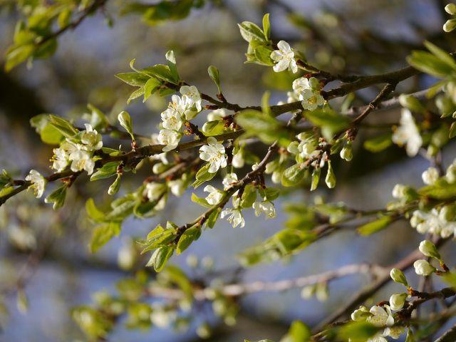 Der Zwetschgenbaum blüht ab April.