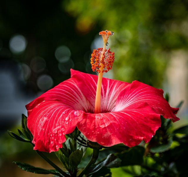Sobald es warm genug ist, kann der chinesische Hibiskus wieder nach draußen.