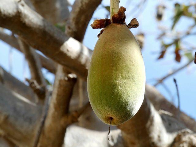 Das säuerliche Fruchtfleisch der Baobab-Früchte ist in Afrika äußerst beliebt.