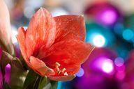 Die Amaryllis wird gerne zur weihnachtlichen Dekoration eingesetzt.