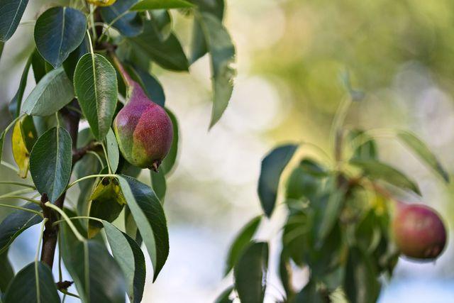 Benutze immer scharfe und saubere Gartenscheren, wenn du deinen Birnbaum schneiden willst.