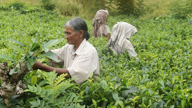 Auf vielen Tee-Plantagen gibt es Ausbeutung