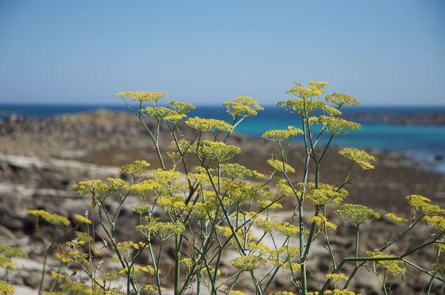 Die Fenchelpflanze mag es warm und kann bis zu zwei Meter hoch werden.