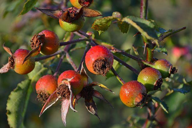 Aus den Hagebutten der Zimtrose kannst du neue Pflanzen ziehen.