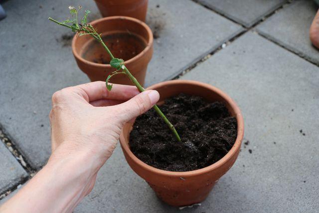 Um dem Steckling Starthilfe zu geben, kann dieser in eine Kartoffel gesteckt und mit dieser eingegraben werden.