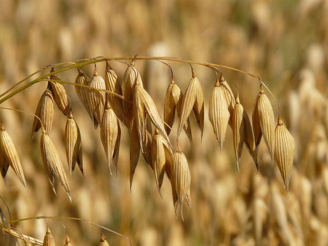 Im Gegensatz zu anderen Getreiden hat Hafer keine Ähren, sondern Rispen