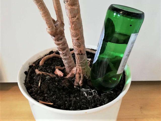 Umgedrehte Glasflaschen bewässern deine Pflanze während eines Urlaubs ganz von allein.