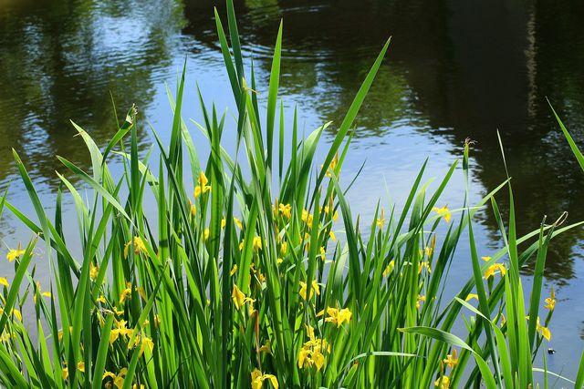 Ein sonniger bis halbschattiger Platz im Garten oder im Zimmer ist für die Wasserlilie genau das Richtige.