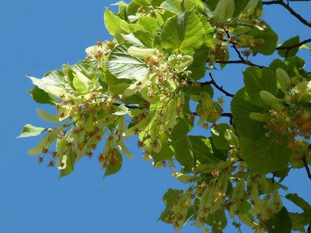 Von der Linde stammen sowohl Lindenhonig als auch Lindenblütenhonig.