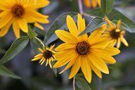 Topinambur ist mit der Sonnenblume verwandt.