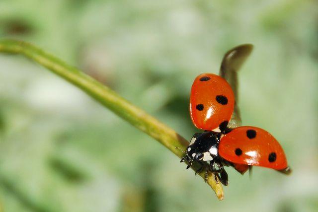 Im Frühling sind die Marienkäfer nach dem Überwintern dann wieder im Anflug.