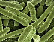 Vibrionen