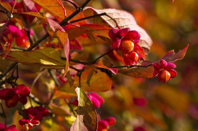 Die Früchte und Samen des Pfaffenhütchens sind stark giftig.