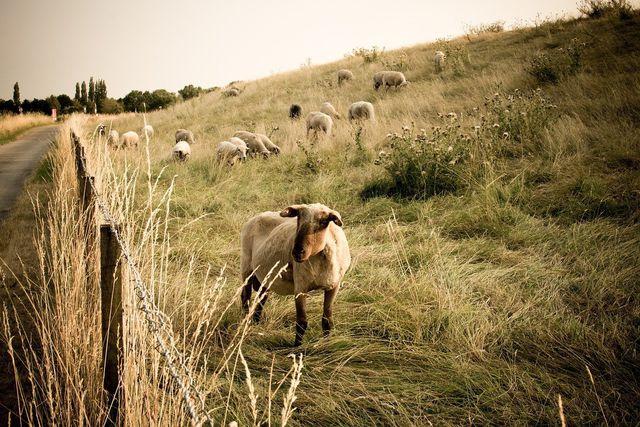 Aus beweideten Flächen können Magerwiesen hervorgehen.