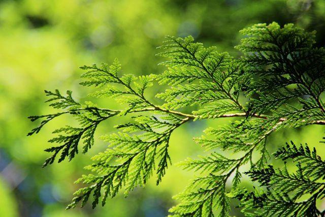 Der Lebensbaum wird gerne als Hecke genutzt.