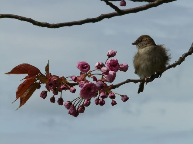 Die Früchte der Japanischen Nelkenkirsche bieten Vögeln Nahrung.