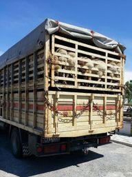 Tiertransport: Schafe im LKW