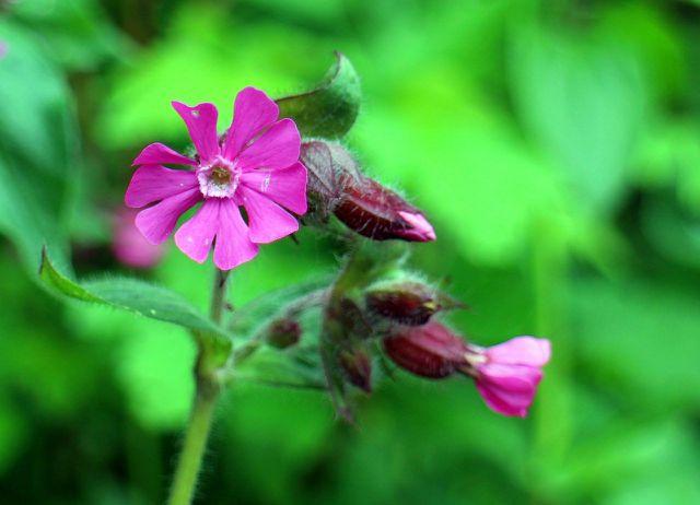 Damit sich Pechnelken in deinem Garten wohlfühlen, braucht es nicht viel.