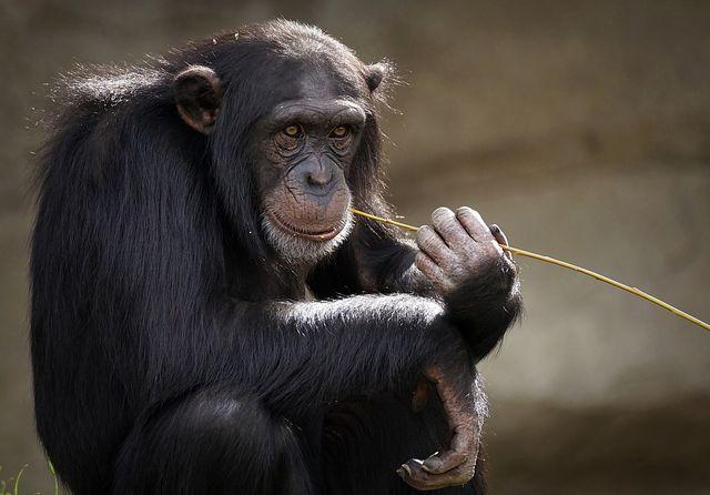 Der Schimpanse gehört zu den Tierarten, die vom Aussterben bedroht sind.