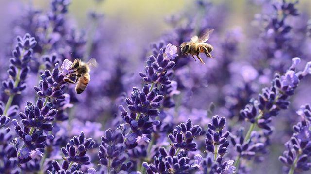 bienenfreundliche Pflanzen Lavendel