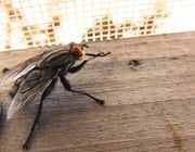Home remedies for flies get rid of flies and keep them away