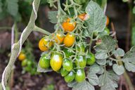 Tomaten lassen sich auch an Schnüren hochziehen.