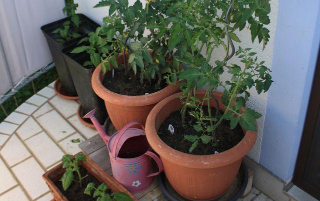 Tomatenpflanzen in unterschiedlichen Pflanzgefäßen.