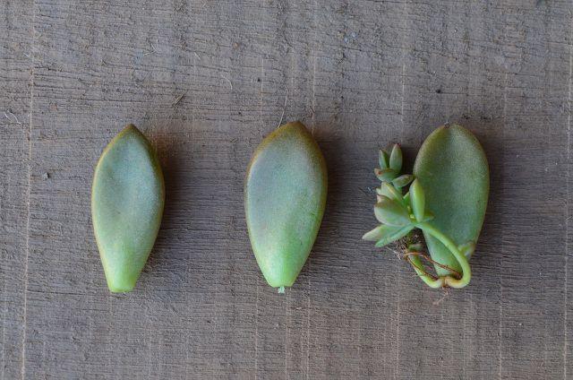 Sukkulenten kannst du einfach vermehren, indem du ein Blatt davon abtrennst und abwartest.