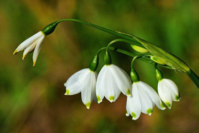 Mit der Blüte der Schneeglöckchen beginnt der Vorfrühling.