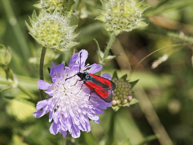 Feld-Thymian ist nicht nur eine bienenfreundliche Staude, sondern zieht auch andere Insekten an.